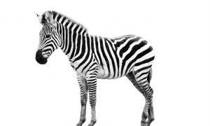 Zebra Stripes Work Like Bug Spray