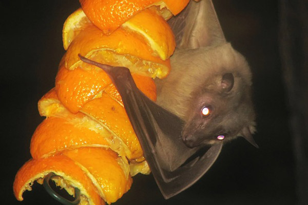 Egyptian fruit bat. There are over 180 species of fruit bat, which are also known as flying foxes, and make-up the world's largest bats. Photo by: Public Domain.