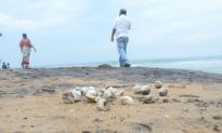 Sea Turtle Nests Still Conservation Issue