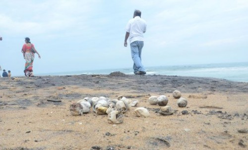 Olive Ridley Turtle Eggs Lay Exposed because of Coastal Erosion (www.indiaendangered.com)