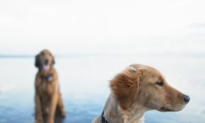 More Dogs in Chicago Carrying Potentially Fatal Lepto Bacteria This Year
