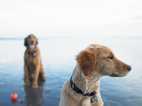 Social dogs that spend lots of time outside have the greatest risk of catching leptospirosis. (Ryan McVay/thinkstock)