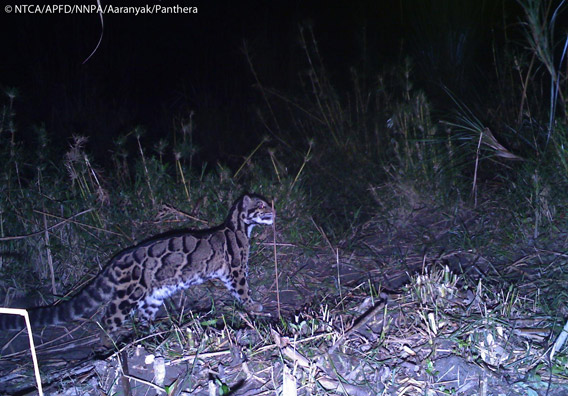Clouded leopard in Namdapha. The clouded leopard is listed as Vulnerable by the IUCN Red List. Photo © Panthera, NTCA, APFD, NNPA, and Aaranyak.