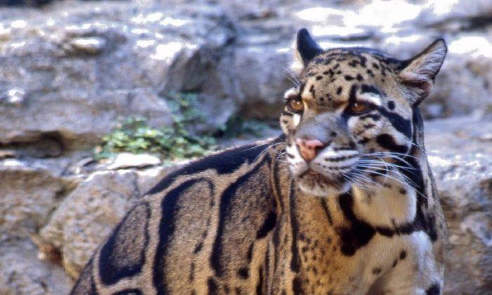 Clouded leopard in San Antonio Zoo (wikimedia.org)
