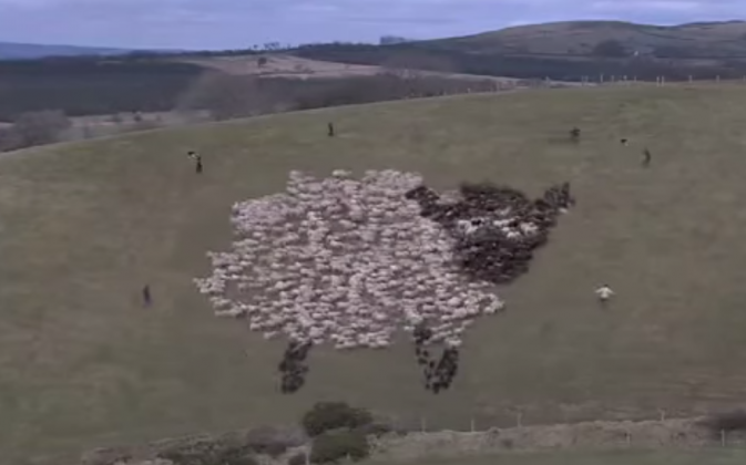A sheep made of sheep: a flock of sheep is herded into  the image of a giant sheep. (Screenshot via Youtube/Baaastuds)