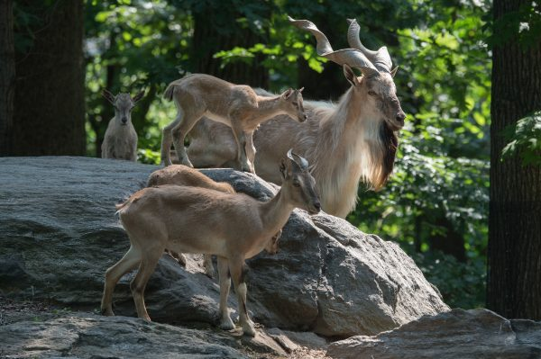 Turkmenian Markhors can be seen in their habitats along the Wild Asia Monorail in Bronx Zoo. (Julie Larsen Maher, Wildlife Conservation Society)