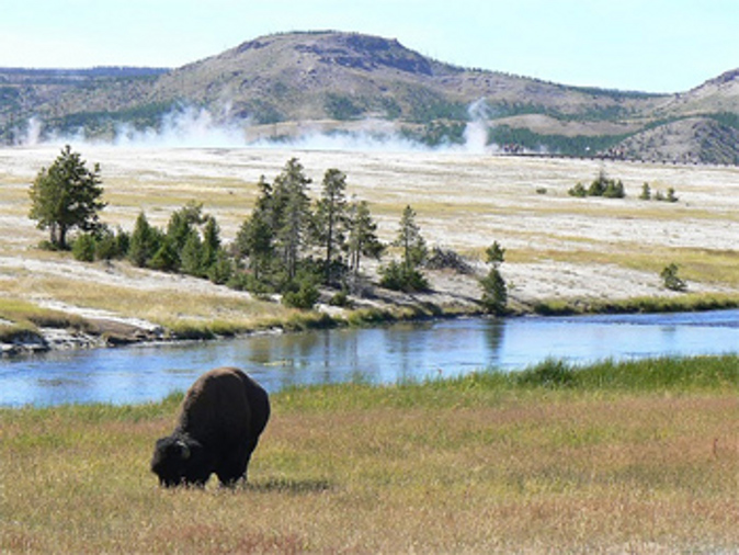 Bison are the most prominent large animals you can find in Yellowstone. (Go Nomad)