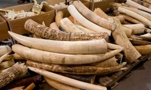 Save Elephants by Closing Ivory Markets