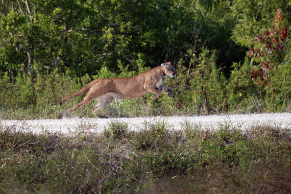 A 2-year-old Florida panther is released into the wild by the Florida Fish and Wildlife Conservation Commission (FWC) in West Palm Beach, Florida, on April 3, 2013. ( Joe Raedle/Getty Images)
