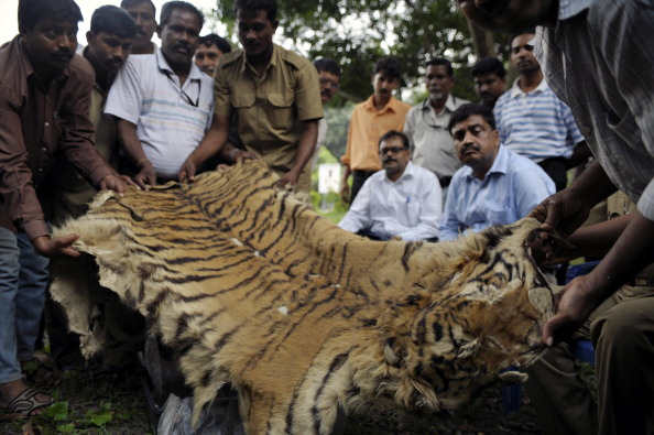 ndian forest officials display a seized bengal tiger skin in Kolkata on November 16, 2010. The skin was seized by a team of Sunderbans Tiger Reserve (STR) officials from a local market in the outskirts of Kolkata, while three people were arrested. (Deshakalyan Chowdhury/AFP/Getty Images)