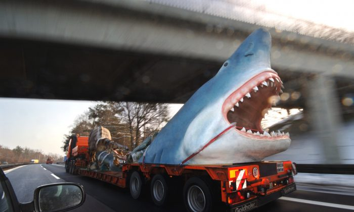 A truck in Germany transports a life-size model of a megalodon shark in this March 7, 2006 file photo. (AP Photo/Sven Kaestner)