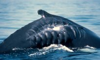 Could This Be One Reason Why Whale Populations Have Not Recovered Following Hunt Ban?