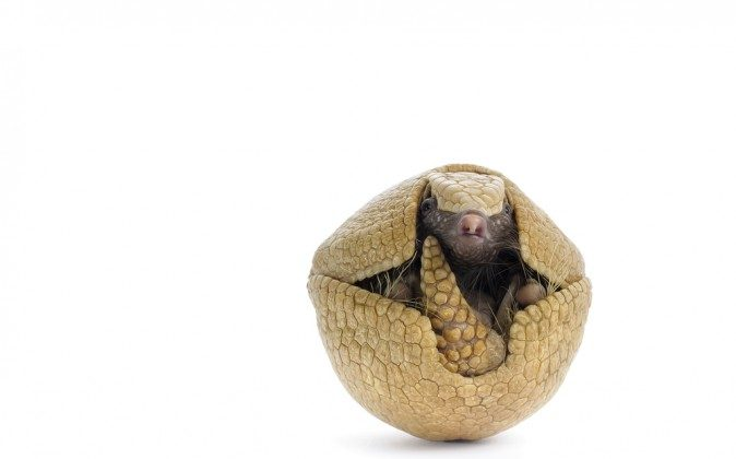Are roly polys secret mini ninja armadillos? (Shutterstock*)