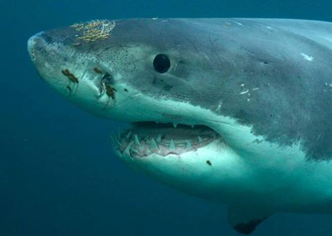 Submarine Shark, 'Shark of Darkness' Controversy: Discovery