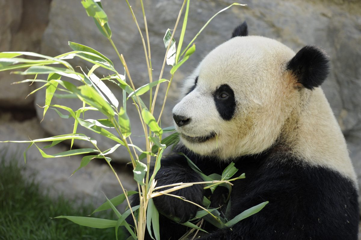 Giant panda Hao Hao eats bamboo leaves in its pen at Pairi Daiza animal park in Brugelette on April 15, 2014. (John Thys/AFP/Getty Images)