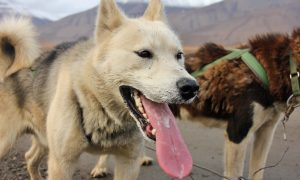 What's It Like Driving Your Own Team of Husky Dogs in the Arctic of Norway?