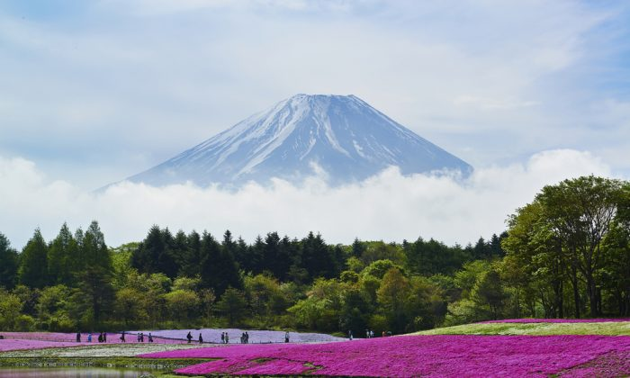 Purple flowers and Mt.Fuji in Japan. (*Shutterstock)