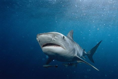 "A tiger shark, one of the species that Discovery Channel says is ""invading"" Hawaii. (Discovery Channel)"