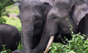 Elephant Poaching Soars as Sumatran Forests Vanish