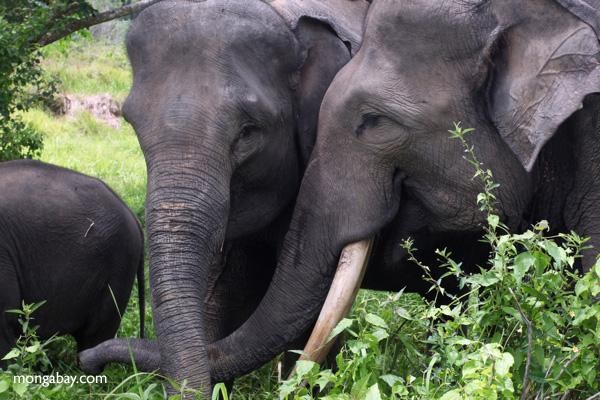 Sumatran elephants in Bukit Barisan Selatan National Park. Photos by Rhett A. Butler.