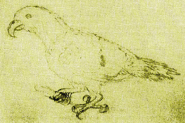 The only believed drawing of an Oceanic parrot (Eclectus infectus) from life made in 1793 in Tonga. Illustration by: Unknown.