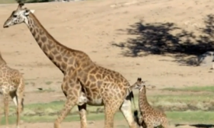 Baby Giraffe Plays Outside for First Time at San Diego Zoo (Video)