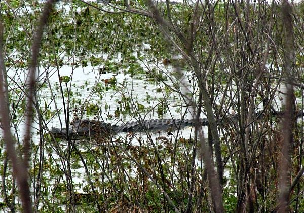 Alligator spotted despite the cold at Alligator Lake Recreation Area (Traveling Ted)