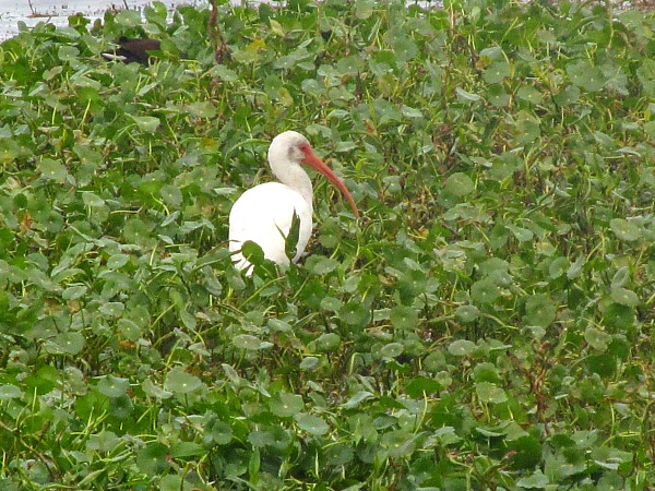 White ibis in thick green vegetation at Alligator Lake Recreation Area. (Traveling Ted)