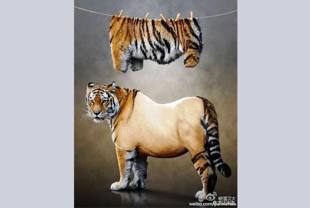 A photograph of a tiger with its fur shorn, hanging above it, went viral on the Chinese Internet, an apparent mocking birthday card to Jiang Zemin, a former leader of the Chinese Communist Party. (freeweibo.com)