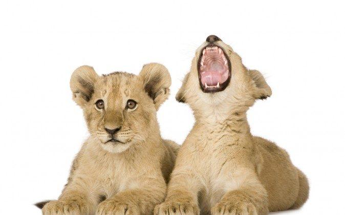 Lion cubs (Shutterstock*)