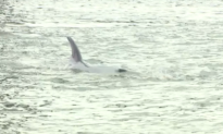 40-Foot Whale Spotted in Unlikely Place (Video)