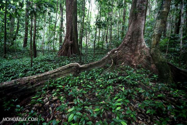Tropical rainforest. Photos by Rhett Butler.  (news.mongabay.com)