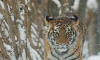 East Russia Logging Cuts Tiger Habitat (Part I)