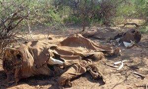 20% of All African Elephants Killed in 3 Years