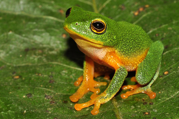 Bob Inger's Bush Frog (Raorchestes bobingeri), a species found in the study site. Photo by K.S. Seshadri