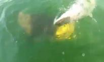 Goliath Grouper Eats Shark in One Bite (Video)