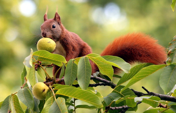 A squirrel is seen on August 14, 2014 on a walnut tree in Berlin. (Wolfgang Kumm/AFP/Getty Images)