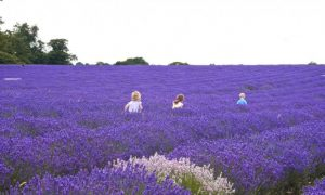 9 Great Uses for Lavender