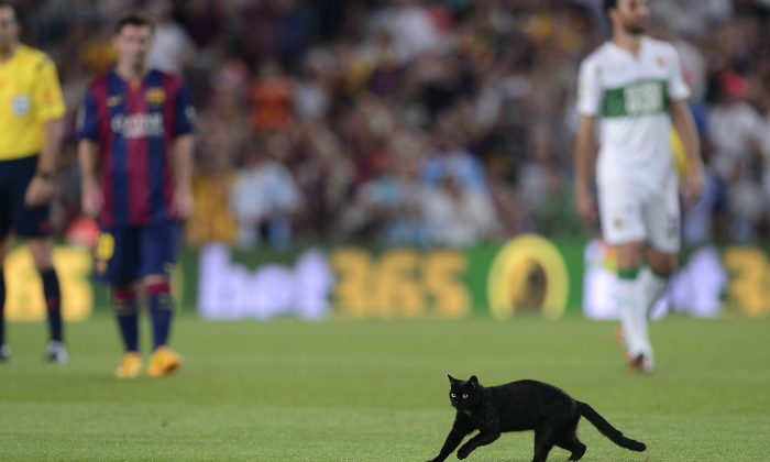 A black cat walks on the pitch during the Spanish league football match FC Barcelona vs Elche CF at the Camp Nou stadium in Barcelona on August 24, 2014. (JOSEP LAGO/AFP/Getty Images)