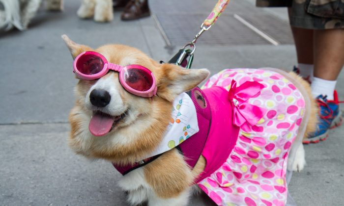 Hazel, a Pembroke Welsh Corgi at Yappy Hour, an event for the Humane Society of New York bringing attention for adoptions on National Dog Day on Aug. 26, 2014. (Benjamin Chasteen/Epoch Times)