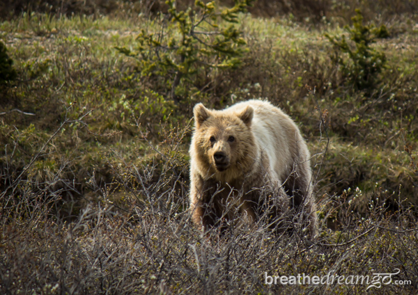 Grizzly bear (BreathDreamGo)