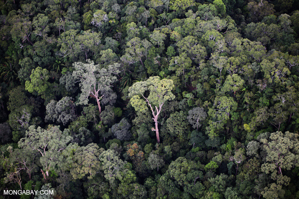 Primary rainforest in Imbak Canyon in the state of Sabah, Malaysian Borneo. The forest is home to pygmy elephants, clouded leopard, orangutans, banteng, and proboscis monkeys among thousands of other species. Photo by: Rhett A. Butler.