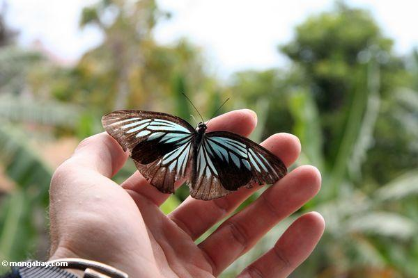 More than 550 species of butterflies have been catalogued on Sulawesi, of which more than 300 are endemic. Photo by Rhett A. Butler.