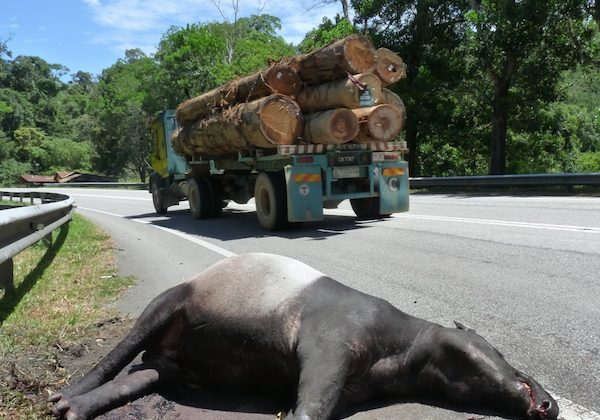 An Asian tapir (Tapirus indicus) killed on a highway in Peninsular Malaysia. Courtesy of WWF-Malaysia/Lau Ching Fong.