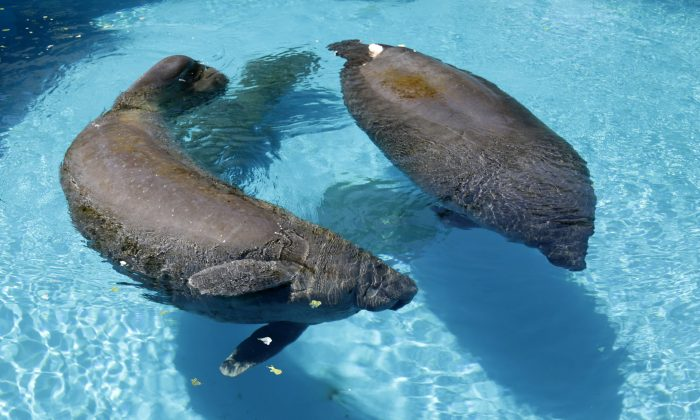 "In this photo taken Wednesday, Aug. 6, 2014, manatees Juliet, left, and Phoenix, right, swim  at the Miami Seaquarium in Key Biscayne, Fla. The U.S. Fish and Wildlife Service is reviewing whether the manatee should be reclassified as a ""threatened"" species, which would allow some flexibility for federal officials as the species recovers while maintaining most of the protections afforded to animals listed as endangered. (AP Photo/Alan Diaz)"