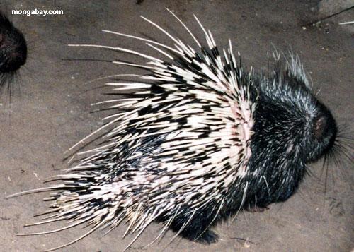 Asian porcupines (landak), from Indonesia (news.mongabay.com)
