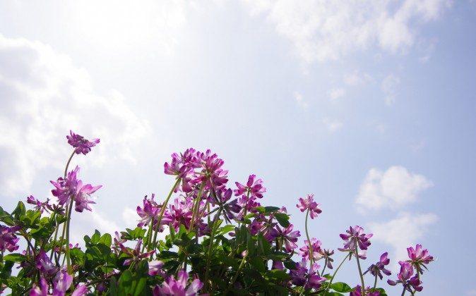 Astragalus (Shutterstock*)
