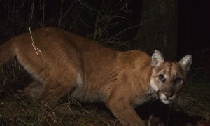 Caltrans Requests $2.5 Million in Funding for Mountain Lion Overpass