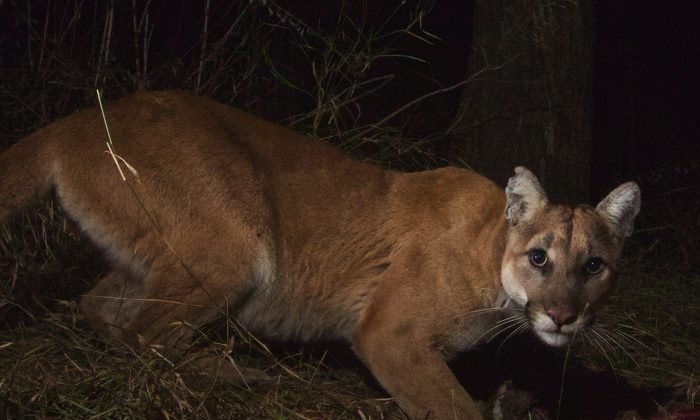 A mountain lion in Malibu Creek State Park on Feb. 20. In California, Mountain lions have been struck and killed by cars, and inbreeding is threatening the population's diversity. (National Park Service)