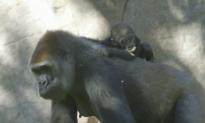 Cute Baby Gorilla Still Sticks by Mum (Video)